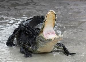 American-alligator