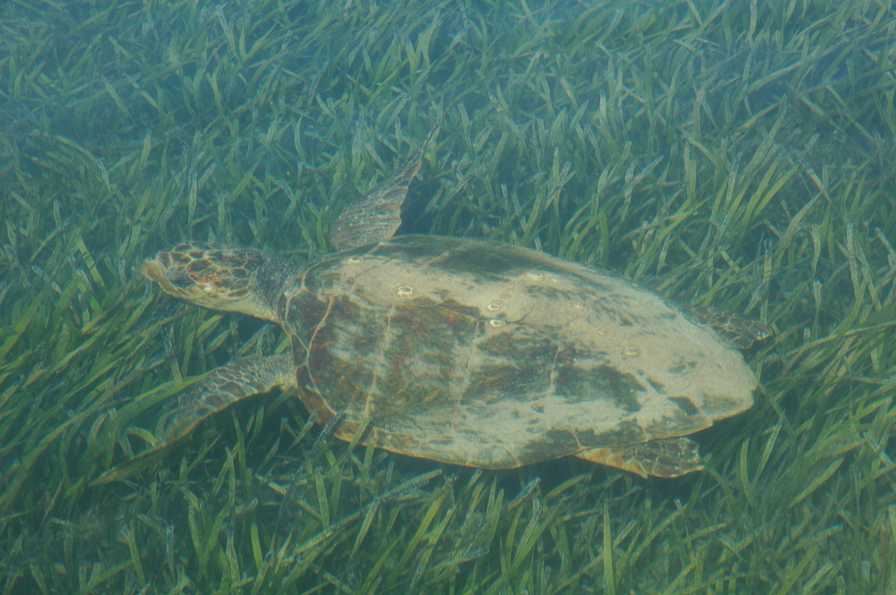 Seagrass beds ecosystem - Loggerhead Turtle Swimming Over Seagrass Beds Of Shark Bay Australia