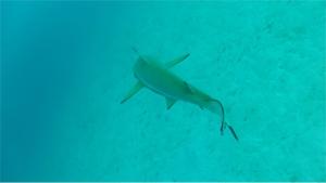 Shark-Cam-Release